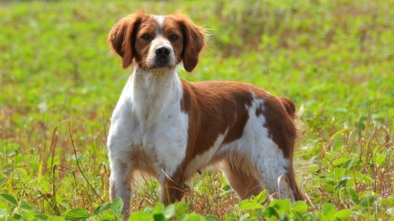 Cure generali del cane da caccia