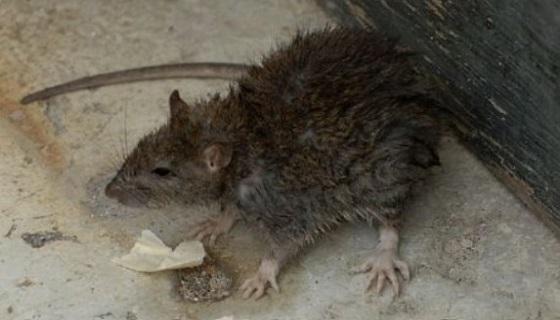 Peggio dei grillini ci sono i grillini animalari col topo di fogna in trappola
