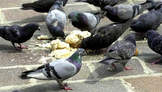 Rovigo: Il regolamento vieta di dare cibo ai volatili