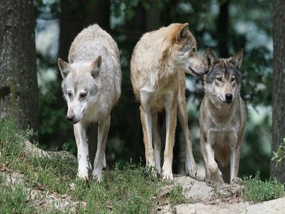 Quanti sono i lupi in Italia e dove si trovano