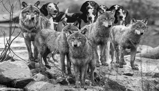 Perché cacciare con i segugi è il metodo di caccia che più si avvicina alle leggi naturali della predazione?