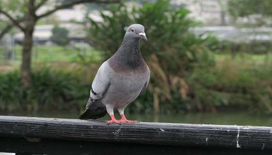 Regione Lombardia autorizza 600 cacciatori per la caccia ai piccioni