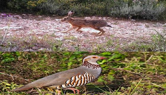 Sardegna: Domenica 18 riapre per lepre e pernice sarda