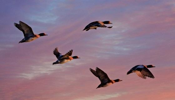 Come funziona la caccia nella Laguna di Venezia: la selvaggina da penna