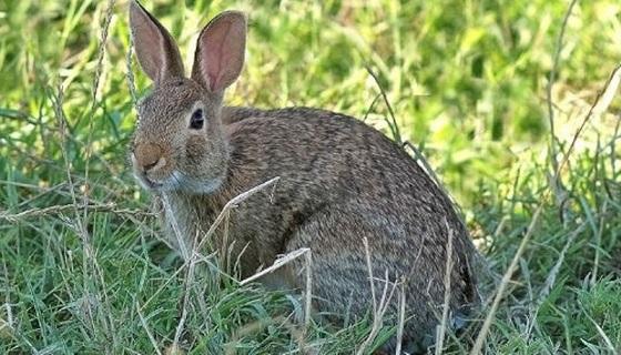 Sicilia, il Cga dà ragione ai cacciatori: dal 2021 via alla caccia al coniglio selvatico.