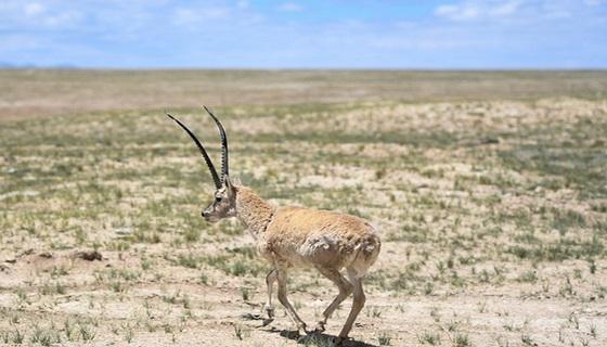 Animali, il Tibet migliora la natura e protegge la biodiversità: la strategia per la fauna selvatica